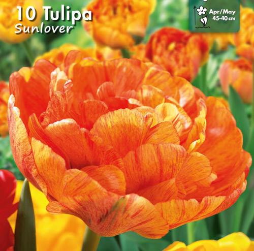 2100014 Tulipa gesneriana  Tulppaani, 'Sun Lover'