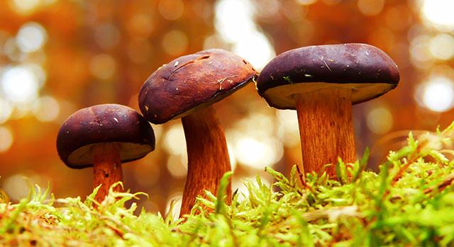 Bild på tre svampar i höstmiljö
