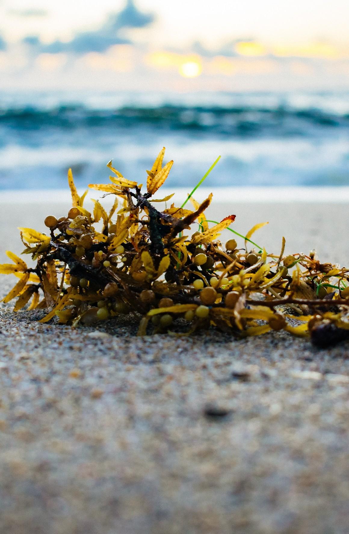 Tång som ligger på stranden
