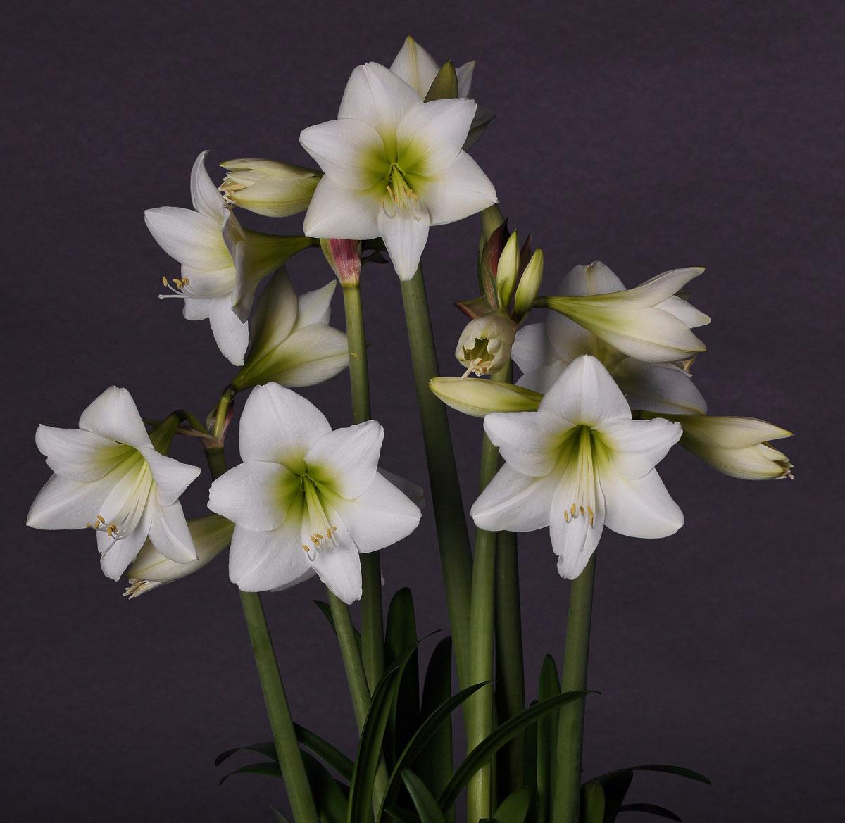 2101369 Hippeastrum  Jaloritarinkukka, Amaryllis, 'White Garden'