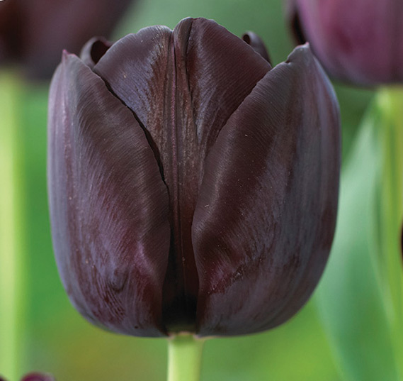 2100072 Tulipa gesneriana Triumftulppaani, 'Paul Scherer'
