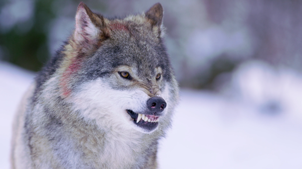 De fyra stora svenska rovdjuren
