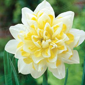 2100111 Narcissus Tähtinarsissi, 'Irene Copeland'
