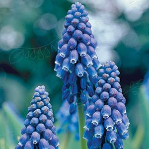 2100509 Muscari armeniacum Tummahelmililja, sininen