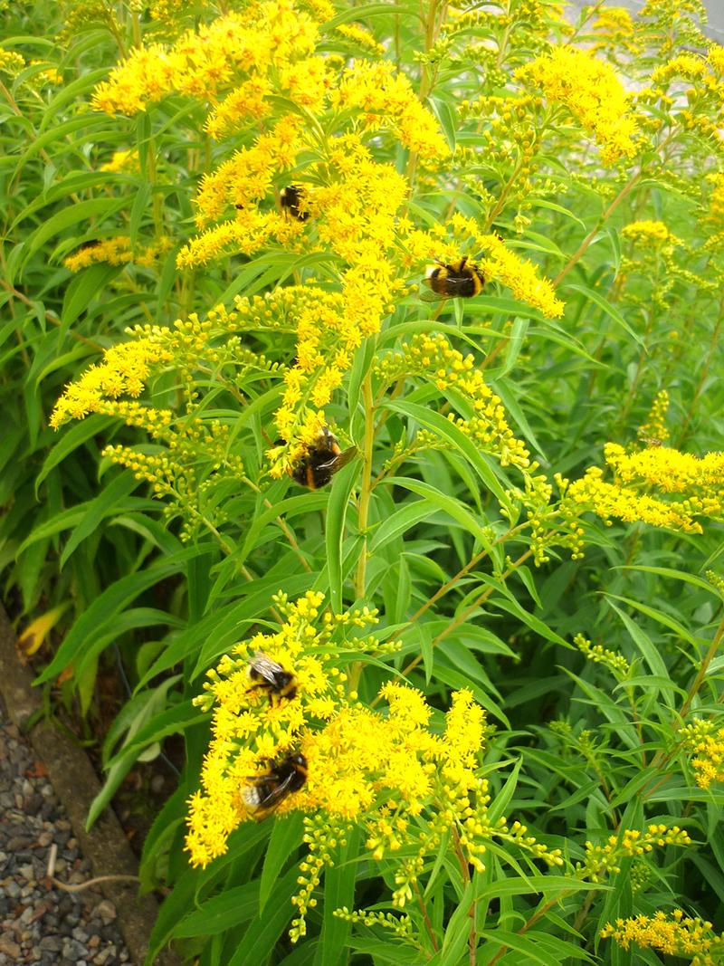 Gullris blommar sent på säsongen och är en viktig nektarkälla för många insekter som behöver bunkra inför vintern.