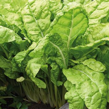 0999012 BETA vulgaris Lehtimangoldi 'Lucullus'