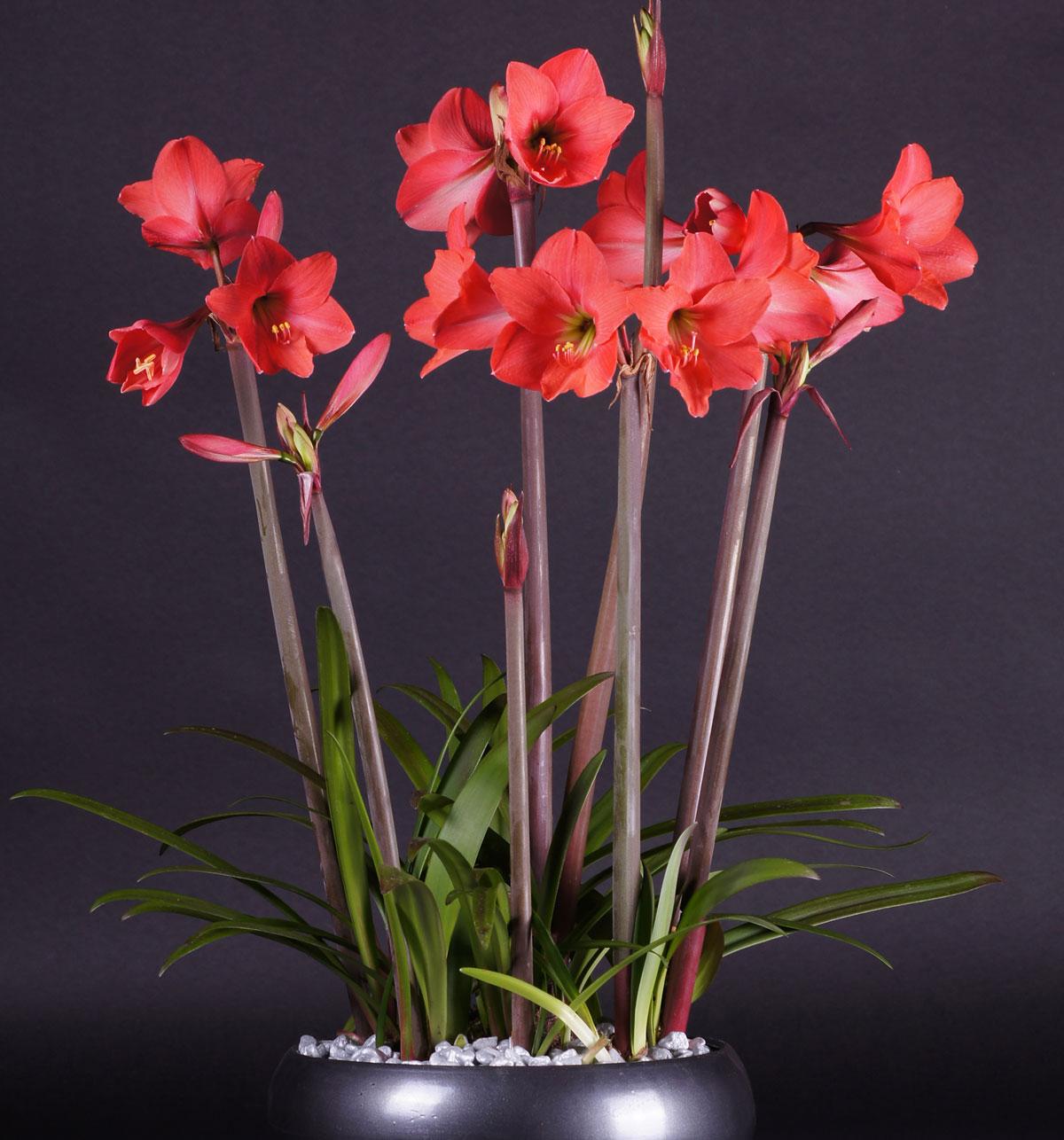 2101368 Hippeastrum  Jaloritarinkukka, Amaryllis, 'Pink Garden'