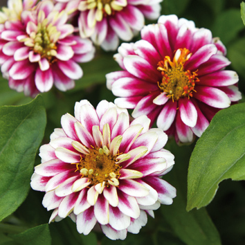 0800835 ZINNIA marylandica Loistotsinnia 'Zahara Double Raspberry Ripple'