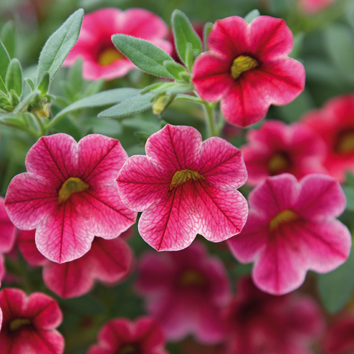 0800144 CALIBRACHOA hybrida Pikkupetunia F1 'Crave Strawberry Star'