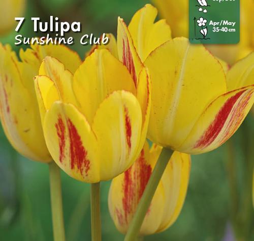 2100148 Tulipa gesneriana  Tulppaani, 'Sunshine Club'