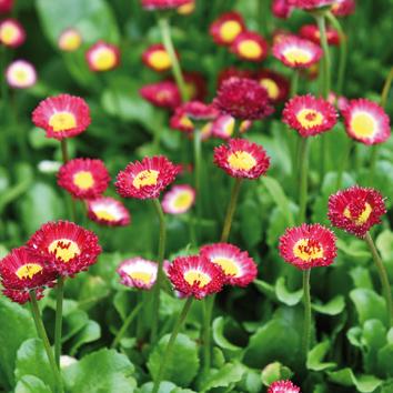 0700428 BELLIS perennis (Nurmi)kaunokainen 'Bellissima Red'