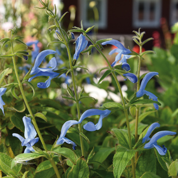 0800133 SALVIA patens Sinisalvia 'Cambridge Blue'