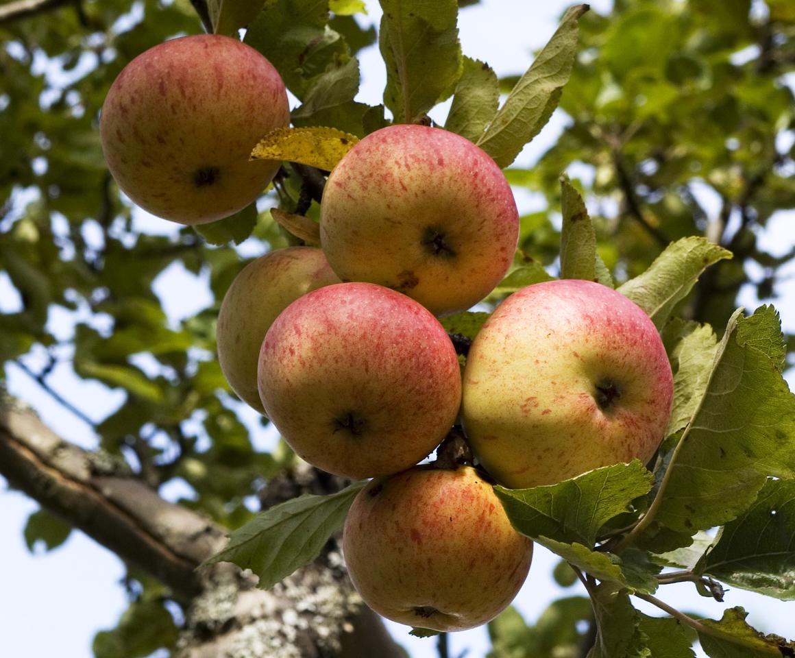 Äpplen,  fotograf: Sven G Nilsson