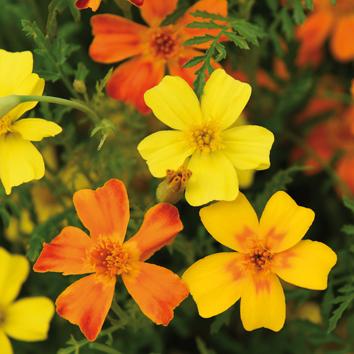 0800822 TAGETES tenuifolia Kääpiösamettikukka