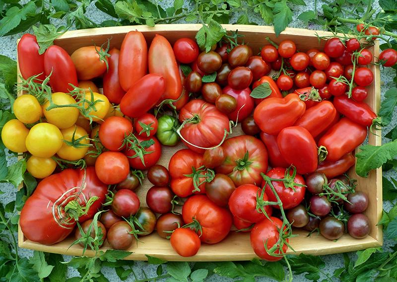 Olika sorters hemodlade tomater