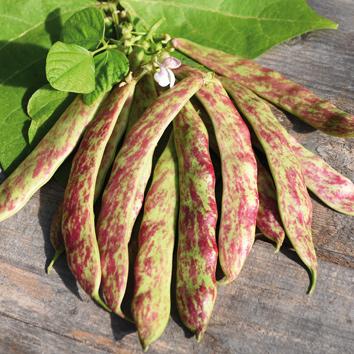 0901013 PHASEOLUS vulgaris Borlottopapu 'Sanguigno 2'