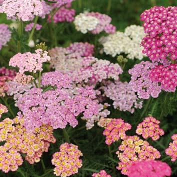 0700458 Siankärsämö F2 'Flowerburst Lilac Shades'