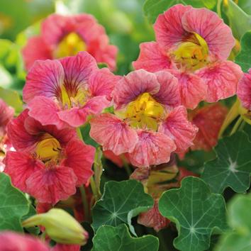 0800966 TROPAEOLUM majus Pensasköynnöskrassi 'Ladybird Rose'