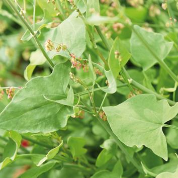 0400230 RUMEX scutatus  Kilpisuolaheinä 'Silver Leaf'