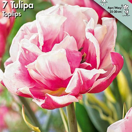2100014 Tulipa gesneriana Tulppaani, 'Toplips'